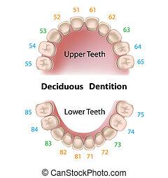 dental, notação, dentes leite