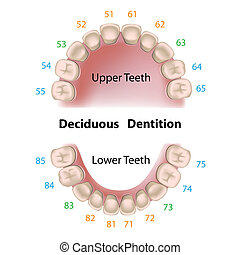 Dental notation milk teeth