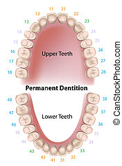 Dental notation by the FDI - world dental federation, adult teeth