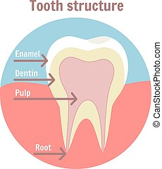 Dental tooth structure. Medical diagram of the structure of human tooth