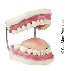 dentale, model