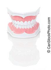 dentale, model, i, tænder