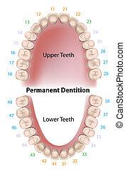 dentale, permanente, notazione, denti