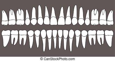 dentale, set, sagoma, denti umani