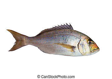 dentex, fish, μεσογειακός , sparidae, θάλασσα