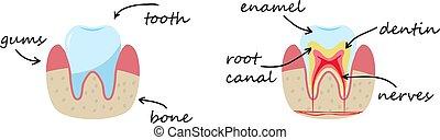 dentin, ゴム, デモンストレーション, nerves., 骨, poster., エナメル