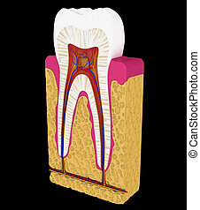 Dentistry: Tooth cut or section isolated over black...