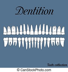 Dentition teeth - incisor, canine, premolar, molar upper and...