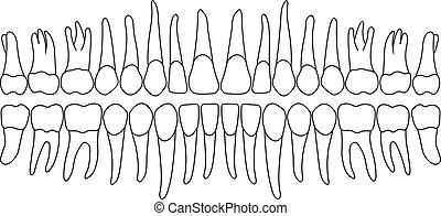 dentition, vektor, z�hne
