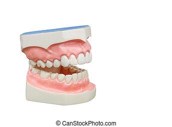 dentoform, 牙齒, 牙齒, 模型, 被隔离, 在懷特上