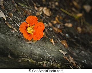 depression - Nasturtium flower on autumnal grunge