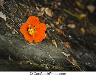 depression - Nasturtium flower on autumnal grunge