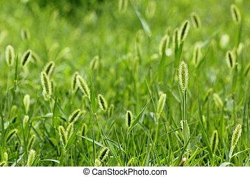 der, brise, in, der, setaria, viridis