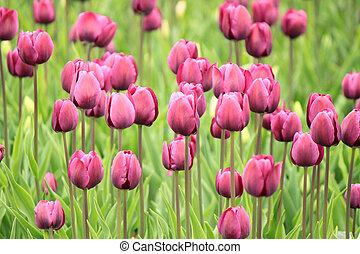 der, bunte, lila, tulpen, blühen, in, a, feld