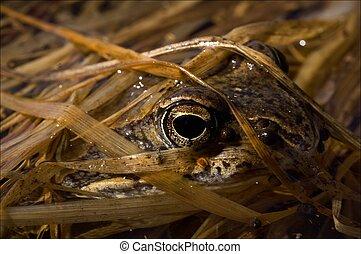 der, gewöhnlicher frosch, versteckt, in, a, grass.