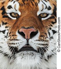 der, sibirischer tiger