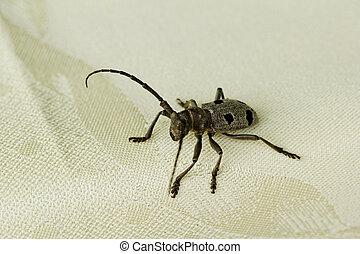 der, steinbock, käfer
