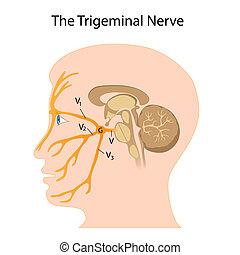 der, trigeminal, nerv