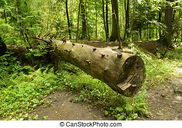 der, unberührt, natur, in, der, forest.