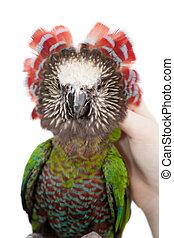 deroptyus,  hawk-headed, papuga,  accipitrinus