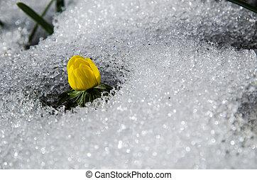 derretendo, flor, neve