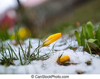 derretendo, neve, amarela, açafrão