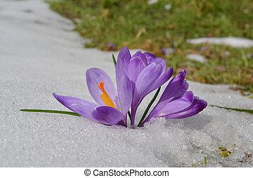 derretendo, sérvia, açafrão, neve, goc, flores, montanha