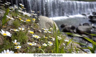 derrière, fleur, blanc, chute eau, pâquerette