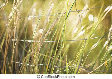 derrière, herbe, marram, fenc, européen