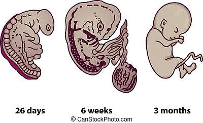 desarrollo, etapas, embrionario, humano, successive