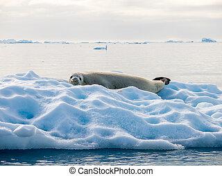 descansar, crabeater, baía, lobodon, andvord, selo, antártica, carcinophagus, floe gelo