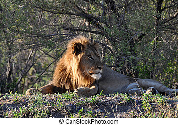 descansar leão, em, capim