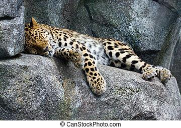 descansar, leopardo de amur