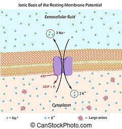 descansar, potencial, membrana