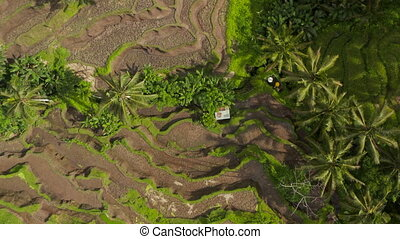 Descending overhead top down aerial birds eye view of paddy field terraced plantations with small farm hut in Bali, Indonesia