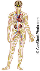 Descriptive illustration of the nervous, circulatory and anatomical systems of the human body.