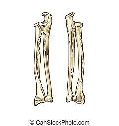 desenhado, mão, realístico, human, bones.