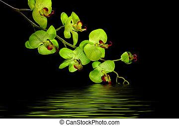 desenhista, orquídea, flor, em, água