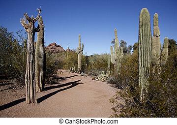 Desert, Arizona, USA, cactus
