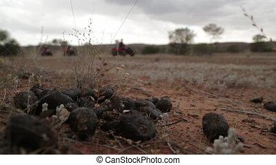 Desert Beetle Dung, Outback Australia, NT - Medium close-up...