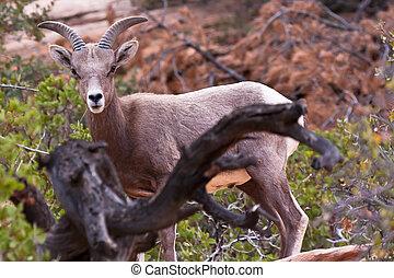 Desert Big Horn Lamb Sheep