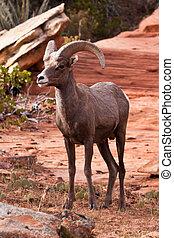 Desert Big Horn Ram