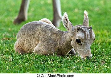 Desert Big Horn Sheep Baby Lamb