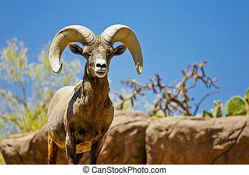 Desert Big Horn Sheep in Wilderness