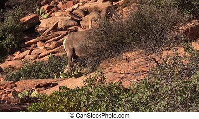 Desert Bighorn Ram - a desert bighorn sheep ram in zion...