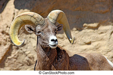 Desert Bighorn Ram - Desert Bighorn Sheep, sizing up his...