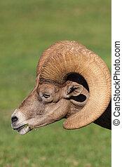 Desert Bighorn Ram Portrait