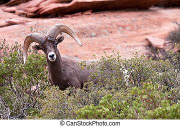 Bighorn Ram Sheep - Desert Bighorn Ram Sheep in Utah's Zion...