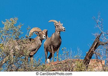 Desert Bighorn Sheep Ewe and Ram
