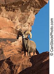 Desert Bighorn Sheep Ram - a full curl desert bighorn sheep...